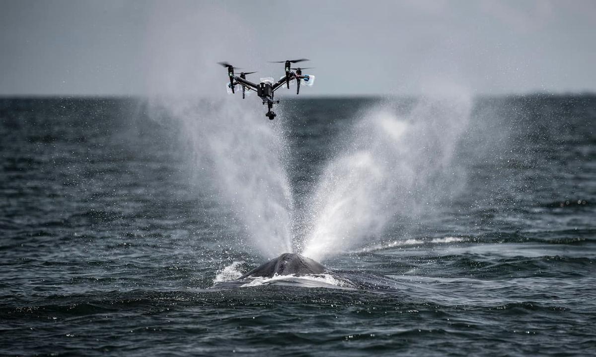 Cách các nhà khoa học thu thập nước mũi cá voi để nghiên cứu