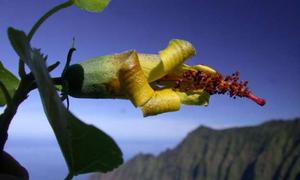 Drone tìm thấy loài hoa biến mất 10 năm trên vách núi dốc đứng