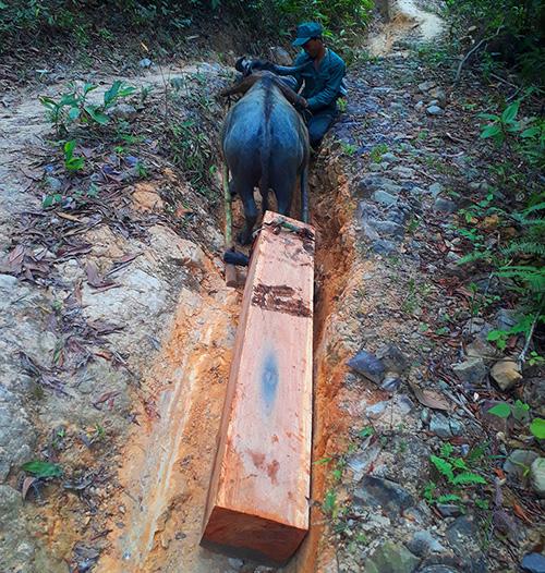 Gỗ được dùng trâu kéo ra khỏi rừng đưa đi tiêu thụ. Ảnh: Đắc Thành.