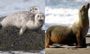 Cách phân biệt hải cẩu và sư tử biển