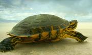 Cơn mưa rào cứu mạng rùa giữa sa mạc khô nóng