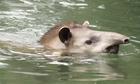 Loài vật giống lợn chuyên kiếm ăn dưới nước