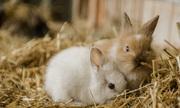 Vụ kiện hơn 10.000 con thỏ lăn ra chết vì stress tiếng pháo