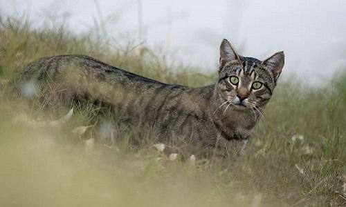 Một con mèo hoang ở bang South Australia. Ảnh: iStock.
