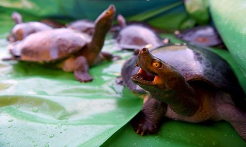 Rùa hoàng gia là loài cực kỳ nguy cấp trong Sách Đỏ thế giới. Ảnh: AFP.