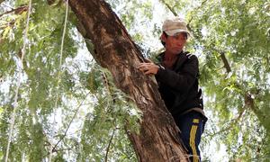 Người đàn ông 20 năm trèo cây hái me ở Ninh Thuận