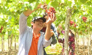 Du khách trải nghiệm hái nho trong vườn ở Ninh Thuận
