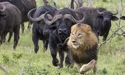Trâu rừng châu Phi - 'gã khổng lồ' sẵn sàng tiêu diệt vật cản
