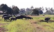 300 con trâu tung hoành trên đồng trong lễ hội truyền thống ở Thái Lan