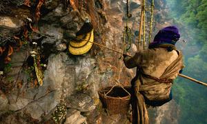 Người dân treo mình trên vách núi lấy mật ong rừng ở Nepal