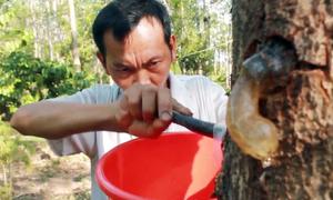 Đục thân cây lấy mủ trôm, vợ chồng ở Gia Lai kiếm tiền triệu mỗi ngày