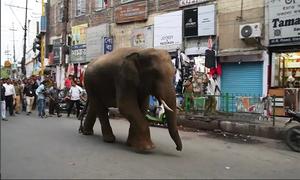 Thành phố Ấn Độ náo loạn vì voi rừng xông vào tìm thức ăn