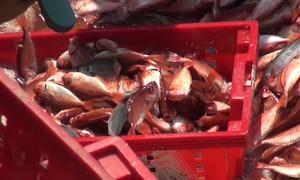 Trúng đậm cá đỏ ở Hoàng Sa, ngư dân thu hàng tỷ đồng