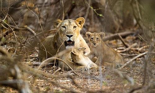 Một con sư tử cái nằm nghỉ cùng hai con non trong vườn quốc gia Gir. Ảnh: National Geographic.