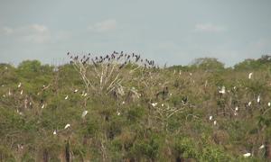 200 cò nhạn quý hiếm về cư trú tại vườn chim Bạc Liêu