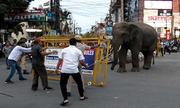 Voi hoang gây náo loạn khu phố ở Ấn Độ