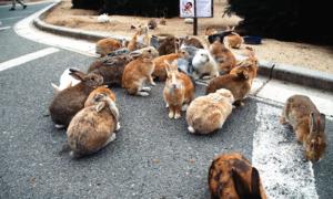 Hòn đảo bí ẩn thỏ nhiều hơn người ở Nhật Bản