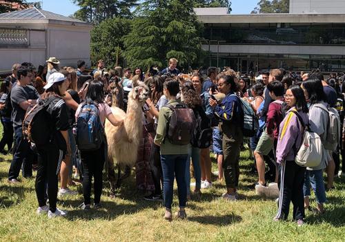 Đám đông vây quanh lạc đà không bướu tại Đại học California, Berkeley, Mỹ. Ảnh: Matthew Cantor/The Guardian