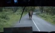 Voi rượt đuổi xe buýt hơn một cây số trên đường núi Ấn Độ