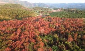 Hơn 3.000 cây thông 17 năm tuổi bị đầu độc tại Lâm Đồng
