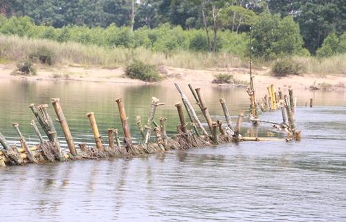 Một hàng rào tre được người dân đóng xuống sông Bồ. Ảnh: Võ Thạnh