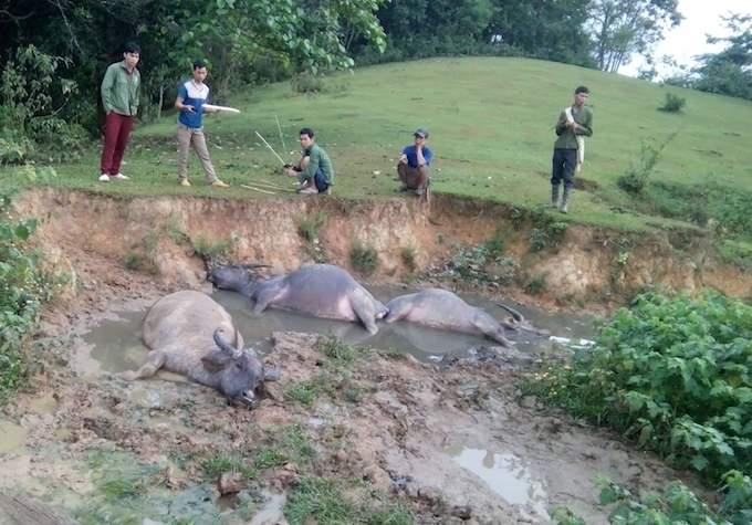 3 con trâu bị sét đánh chết chiều 6/5 tại huyện Quế Phong. Ảnh: PV.