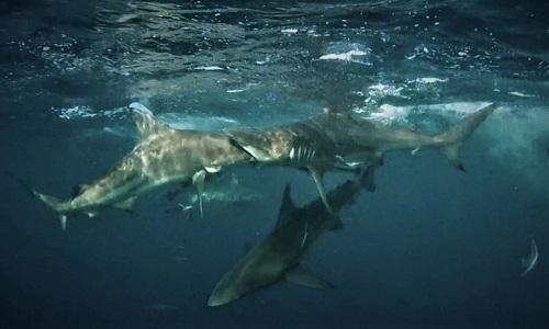 Hướng dẫn viên Mia Vorster ghi lại cuộc đụng độ giữa hai con cá mập ngoài khơi Nam Phi. Ảnh: Sun.