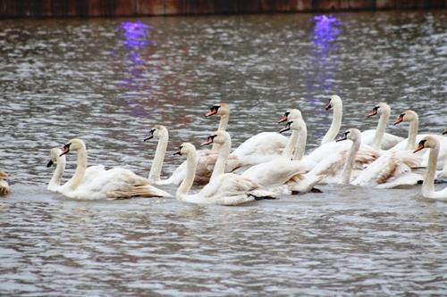 Ngay sau khi được thả, 40 con thiên nga tụ thành đàn bơi lội tung tăng trên sông. Ảnh: Giang Chinh