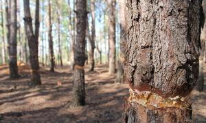 Rừng thông 20 năm tuổi ở Gia Lai bị chặt phá