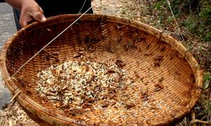 Người dân Bà Rịa - Vũng Tàu dùng cây thọc trứng kiến vàng đem bán