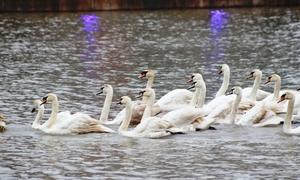 Người dân thích thú ngắm đàn thiên nga trên sông ở Hải Phòng