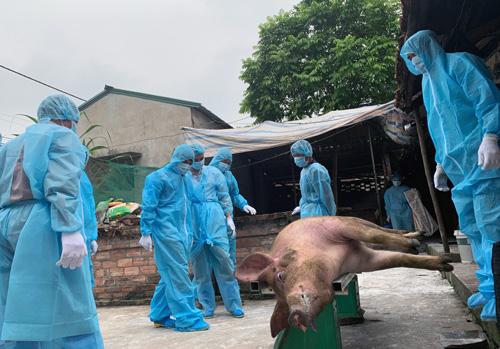Cơ quan chức năng cân để xác định mức hỗ trợ trước khi tiêu huỷ lợn bệnh tại huyệnChương Mỹ, Hà Nội. Ảnh: Võ Hải.