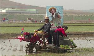 Cấy lúa ở Triều Tiên