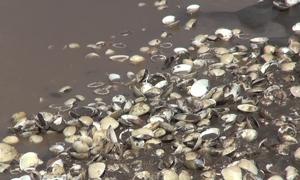 50 tấn nghêu ở Trà Vinh bị chết trước đợt thu hoạch