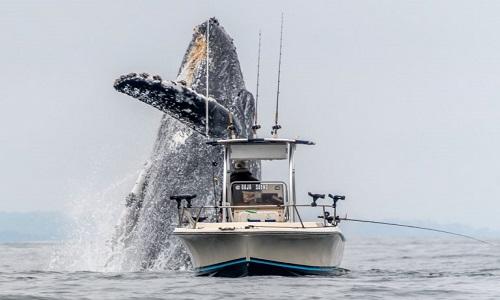 Con cá voi lưng gù khiến thuyền đánh cá trở nên nhỏ bé. Ảnh: Sun.
