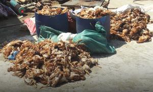 Hơn 1.000 con gà chết bất thường trong trại nuôi ở Hà Tĩnh