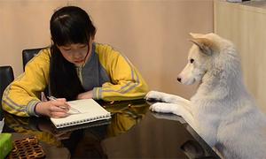 Ông bố Trung Quốc huấn luyện chó giám sát con gái làm bài tập