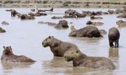 Hơn 100 con chuột lang nước chen chúc tránh nóng