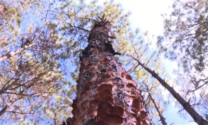 150 ha rừng thông bị bóc vỏ trái phép tại Gia Lai