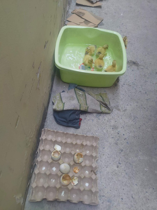 Đàn vịt mới nở bên cạnh hộp trứng mua về.