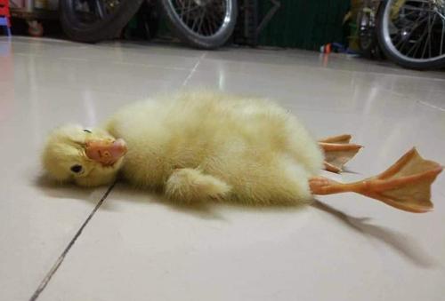 Một con vịt nằm nghỉ trưa trên nền nhà.