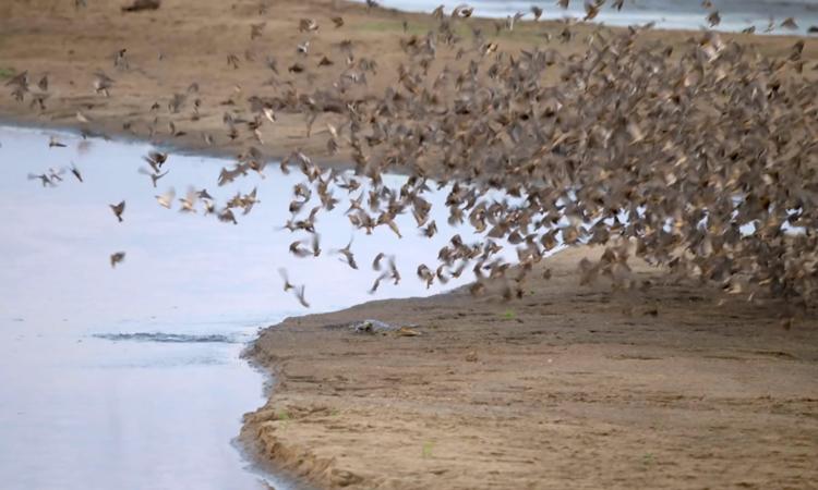 Cá sấu lao lên tấn công đàn chim hàng chục nghìn con