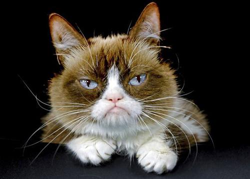 Mèo Grumpy nổi tiếng với gương mặt cau có. Ảnh: AP