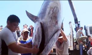 Dùng cần cẩu đưa cá ngừ đại dương 370 kg lên bờ