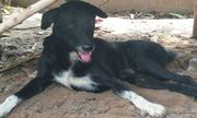 Chú chó cứu bé sơ sinh bị chôn sống trên cánh đồng Thái Lan