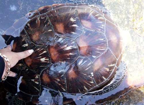 Theo chuyên gia, rùa biển mắc cạn thuộc loài vích với bốn đôi vảy sườn. Ảnh: Neil Nguyễn.