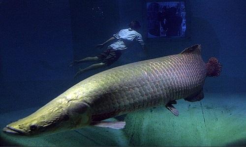 Hải tượng long – loài cá lớn nhất sông Amazon thoát nguy cơ tuyệt chủng