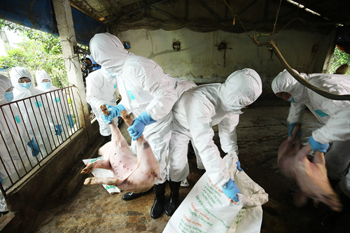 Việt Nam đã tiêu huỷ 1,5 triệu con lợn mắc dịch tả châu Phi