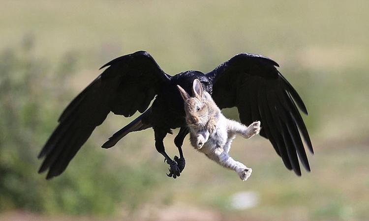 Thỏ con thoát vuốt quạ đen trong gang tấc