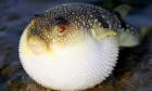 Độc tố gây chết người ở cá nóc có hết khi đun nhiệt độ cao?